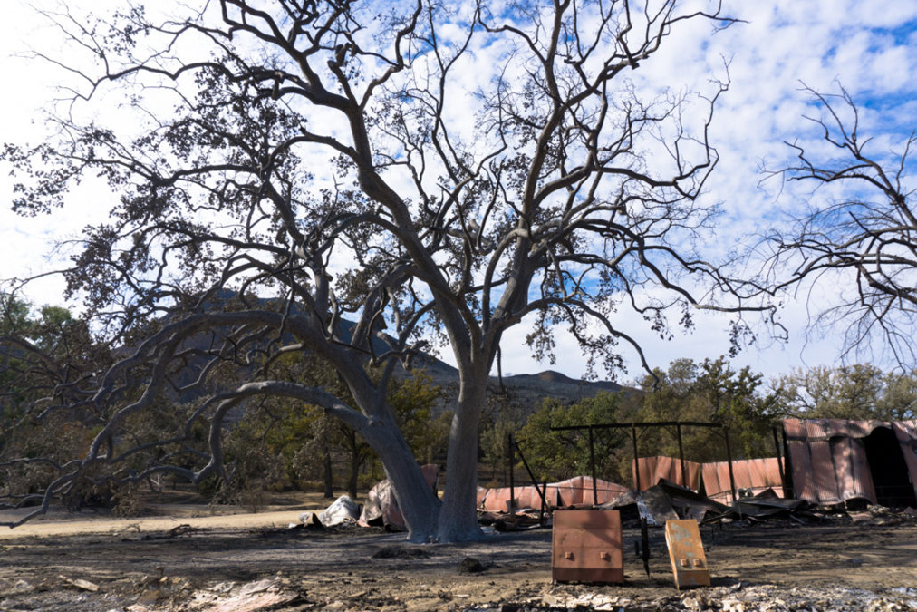 Paramount Ranch - The Witness Tree After Woolsey Fire